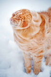 Red young Maine Coon, shakes off the snow Stock Image
