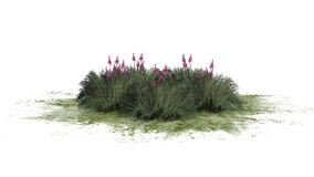 Red Yucca on a green erea - isolated on white background. Several Red Yucca plants with blossoms on a green erea - Hesperaloe parviflora - isolated on white royalty free illustration
