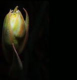 Red Yucca Hesperaloe parviflora Against Black Background Stock Images