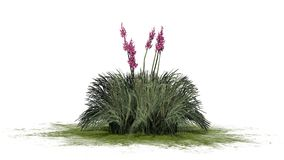 Red Yucca plant on green erea - isolated on white background. Several Red Yucca plant with blossoms on green erea and shadow on the floor - Hesperaloe parviflora vector illustration