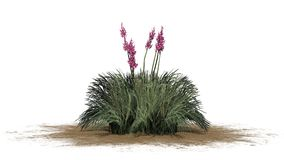 Red Yucca plant on sand erea - isolated on white background. Several Red Yucca plant with blossoms on sand erea and shadow on the floor - Hesperaloe parviflora vector illustration