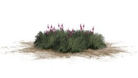 Red Yucca on a sand erea - isolated on white background. Several Red Yucca plants with blossoms on a sand erea - Hesperaloe parviflora - isolated on white stock photos