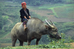 Red Zao Child on Buffalo. Stock Image