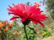 Red zenia flower. Red flower blooming in happiness Stock Photo