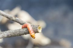 Red Zeuzera coffeae or moths stem borer destroy tree, it is dangerous insect pests with plant disease of vegetables and. Agriculture royalty free stock photography