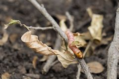 Red Zeuzera coffeae or moths stem borer destroy tree, it is dangerous insect pests with plant disease of vegetables and stock images