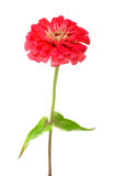 Red zinnia Royalty Free Stock Photo