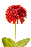Red zinnia Royalty Free Stock Photo