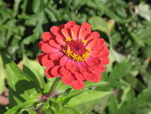 Red zinnia. Autumn bright red zinnia flower in the flowerbed royalty free stock photography