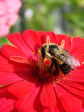 Red Zinnia with bee pollinating Royalty Free Stock Photos