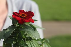 Red Zinnia being held. royalty free stock photography