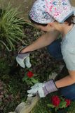 Red Zinnia being planted. stock image