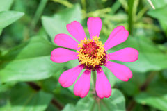 Red zinnia blossom at center closeup. Zinnia bloom in garden on Royalty Free Stock Photography