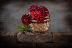 Red zinnia Stock Image