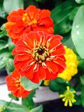 Red Zinnia Stock Images