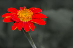 Red zinnia Royalty Free Stock Images