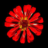 Red Zinnia Elegans Isolated on Black Background. Beautiful Red Zinnia Elegans Isolated on Black Background Royalty Free Stock Photography