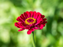 Red Zinnia Elegans Royalty Free Stock Image