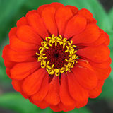 Red zinnia flower Royalty Free Stock Photography