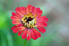 Red Zinnia Flower Royalty Free Stock Photo