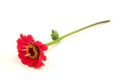 Red zinnia flower Stock Photo