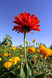 Red Zinnia flower Royalty Free Stock Images