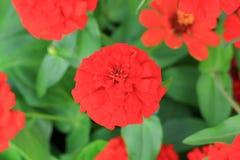 Red zinnia flower beautiful in the garden.  Stock Photos