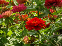 Red zinnia in flower bed. Bed of red zinnia flowers in fall garden royalty free stock photo