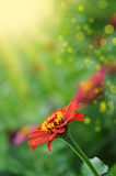 Red zinnia flower design Stock Photography
