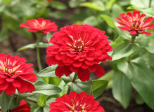 Red zinnia flower Stock Photos