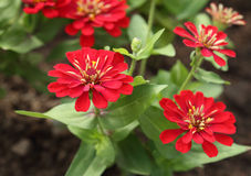 Red zinnia flower Stock Images