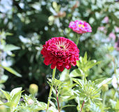 Red zinnia flower in the garden Royalty Free Stock Images