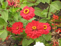 Red zinnia flowers Royalty Free Stock Image