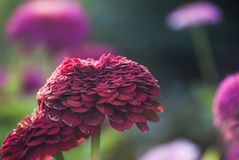 Red Zinnia Royalty Free Stock Photos