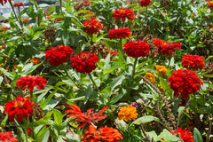 Red zinnia flowers in the garden Royalty Free Stock Photography