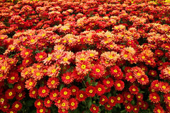 Red zinnia flowers in the garden. Royalty Free Stock Image