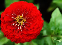 Red zinnia in the garden Stock Photos