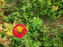 Red zinnia in the garden. Picture with copy space Royalty Free Stock Photos