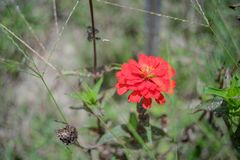 Red Zinnia in the garden. Red Zinnia in garden summer Royalty Free Stock Image