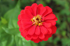 Red zinnia. Vibrant red zinnia in full bloom against lush greenery Stock Photos