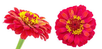 Red zinnia in a white background Stock Images