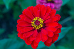 Red zinnia with yellow pistils closeup Royalty Free Stock Images