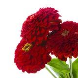 Red zinnias Stock Photos