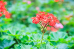 Red zonal geranium (Pelargonium zonale) flower with green leaves. Background. Pelargonium zonale, known as horse-shoe pelargonium or wildemalva, a wild species Stock Photography