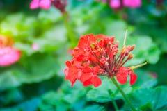 Red zonal geranium (Pelargonium zonale) flower with green leaves. Background. Pelargonium zonale, known as horse-shoe pelargonium or wildemalva, a wild species Royalty Free Stock Photos