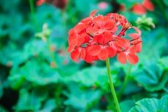 Red zonal geranium (Pelargonium zonale) flower with green leaves. Background. Pelargonium zonale, known as horse-shoe pelargonium or wildemalva, a wild species Royalty Free Stock Image