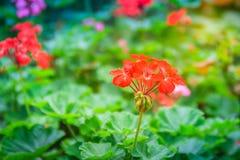 Red zonal geranium (Pelargonium zonale) flower with green leaves. Background. Pelargonium zonale, known as horse-shoe pelargonium or wildemalva, a wild species Royalty Free Stock Photo