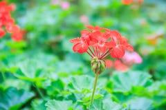 Red zonal geranium (Pelargonium zonale) flower with green leaves. Background. Pelargonium zonale, known as horse-shoe pelargonium or wildemalva, a wild species Stock Image