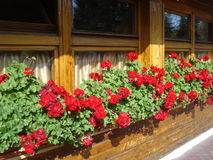 Red zonal geraniums on inn windows sill Stock Photo