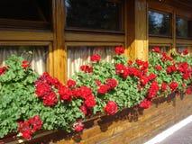 Red zonal geraniums on inn windows sill. Pelargonium hortorum red flowers decorating wooden inn windows Stock Photo